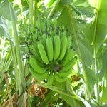 Bananas growing on the grounds