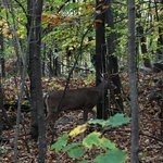 Deerhurst Highlands Course Browsing Buck