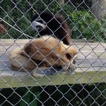 Gibbons grooming each other- they seemed quite pleased with themselves!