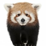 Knoxville Zoo's famous red pandas