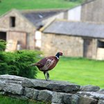 A pleasant place for pheasants