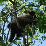 Porcupine in tree on Tower Trail