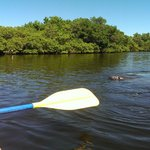 Kayaking with Manatee in Fort De Soto Park