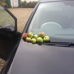 Windfall from the apple trees...the boot was full!
