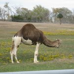 Yes! A two toned camel.