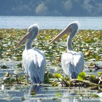 Dalmatian pelicans on lake Skadar, about 40 minutes away by train.
