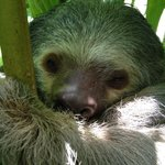 Sloth posing for picture