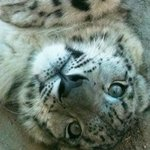 Jackson the baby snow leopard
