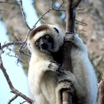 Sifaka in the Gallery Forest nearby