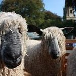 Masham Annual Sheep Fair