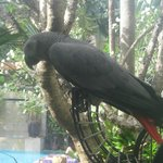 Paxo the African Grey Parrot.