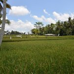 Rice field adjacent to the resort