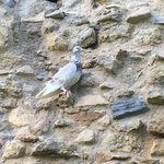 a dove on an Abbey Ruin in the Park