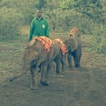 Baby elephants returning to camp for milk and sleep : )