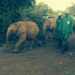 Young elephants returning to camp