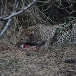 Leopard with his kill near the camp