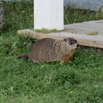 resident marmotte (next door neighbour)