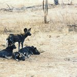 With a bit of luck you might encounter the elusive painted dogs on the prowl