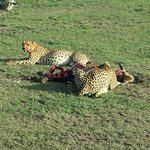 cheetah lunch