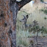 Mule Deer in the back yard