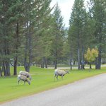 Bighorn sheep at Bighorn Meadows Resort
