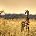 A baby giraffe stands beside the road