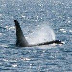 Orca!! Another bucket list item, checked off, and appreciated!!