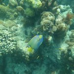 Queen Angelfish at the Bight Reef