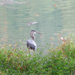 We saw a Great Blue Heron