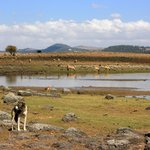 Lake and berber sheep with dogs