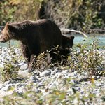 Grizzly bear and cub on the Orford River