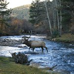 Bull elk bugling and crossing the reiver behind our camper