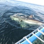 Great White beside the boat and shark cage