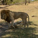 Hunky Male Lion at Mombo
