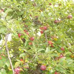 Apple tree on the property