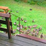 Local ducks at the back of our Log Cabin