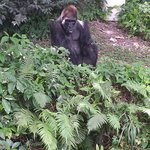 King- Silverback who is 45 years old. He sadly came from a circus and is solitary because he has