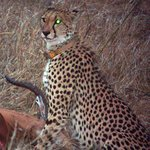 Tracking and finding the elusive Cheetah