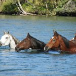 Our horses swim the river