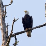 eagle on nearby Clayoquot Sound