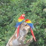 Scarlet Macaws seen from the beach - very loud birds!