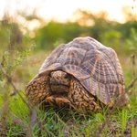 a wild tortoise i spotted while out for a walk around the lake at The Elephant Corridor