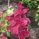 colourful coleus