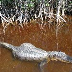 Same Alligator which decided to come to the side of the boat from his resting place - still hung