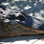 Alligator at the Boardwalk.