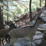 Wild goats - protected in the park