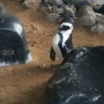 Penguins in Maui!  Penguin feedings are daily at 9:30am at the Hyatt