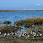 Willets(?) in the marsh