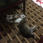 My rabbits relaxing in our hotel room.....