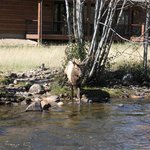 A bull elk greeted us in the river right across from our cabin